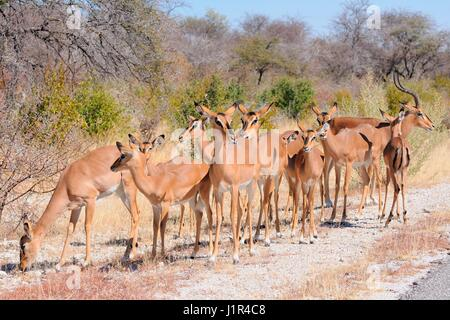 Herd of Black-faced impalas (Aepyceros melampus petersi) standing at the edge of the paved road, Etosha National - Stock Photo