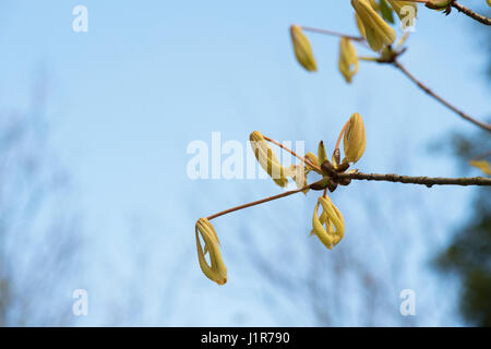 Aesculus hippocastanum 'Hampton Court Gold'. Horse chestnut 'Hampton Court Gold' young leaves opening in April. - Stock Photo