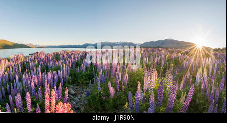 Sun shining through purple Large-leaved lupines (Lupinus polyphyllus), sunstern, sunrise, Lake Tekapo, Canterbury - Stock Photo
