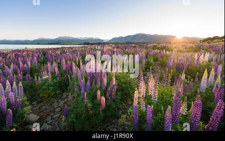 Sun shining through purple Large-leaved lupines (Lupinus polyphyllus), sunrise, Lake Tekapo, Canterbury region, - Stock Photo