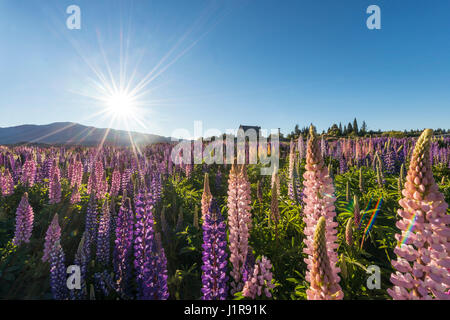 Sun shining through purple Large-leaved lupines (Lupinus polyphyllus), sunstern, Church of the Good Shepherd, Lake - Stock Photo