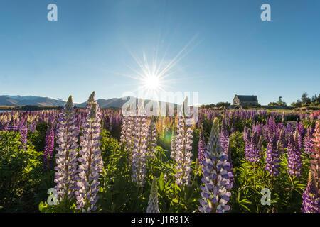Sun shining through purple Large-leaved lupines (Lupinus polyphyllus), sunstern, Church of the Good Shepherd, Lake - Stock Photo