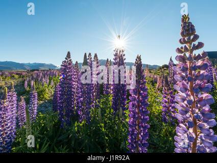 Sun shining through purple Large-leaved lupines (Lupinus polyphyllus), sunstern, Lake Tekapo, Canterbury region, - Stock Photo