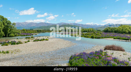 River bed of the Ahuriri River, purple-flowered Large-leaved lupines (Lupinus polyphyllus), at Omarama, Otago region, - Stock Photo