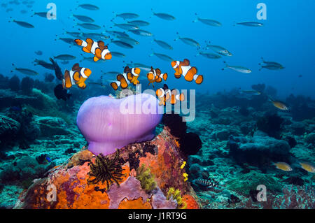 False clown anemonefish [Amphiprion ocellaris] on  coral reef with a closed up Magnificent anemone [Heteractis magnifica]. - Stock Photo