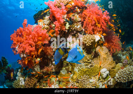 Coral reef scenery with two Yellowbar angelfish (Pomacanthus maculosus) swimming over coral reef with soft coral. - Stock Photo