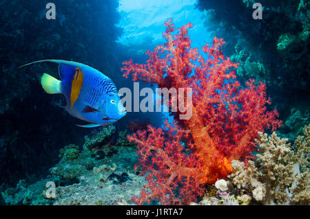 Coral reef scenery with a Yellowbar angelfish [Pomacanthus maculosus] swimming past soft corals.  Egypt, Red Sea. - Stock Photo