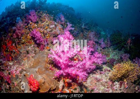 Soft corals [Dendronephthya sp.] on coral reef slope.  Andaman Sea, Thailand. - Stock Photo