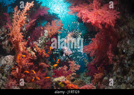 Coral reef scenery with a pair Red lionfish (Pterois volitans), soft corals (Dendronephthya sp) and a school of - Stock Photo