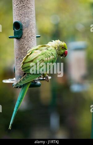 Rose-ringed or ring-necked parakeet (Psittacula krameri) on bird feeder in urban garden.  London, UK. - Stock Photo