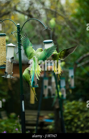 Rose-ringed or ring-necked parakeets (Psittacula krameri) on bird feeders in urban garden.  London, UK. - Stock Photo