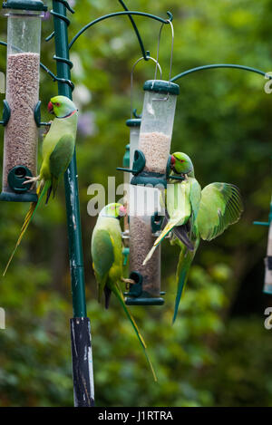 Rose-ringed or Ring-necked parakeets [Psittacula krameri] on bird feeders.  London, Uk. - Stock Photo