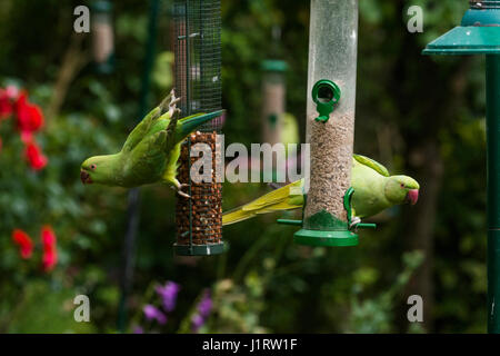 Rose-ringed or Ring-necked parakeets [Psittacula krameri] on bird feeder.  London, Uk. - Stock Photo