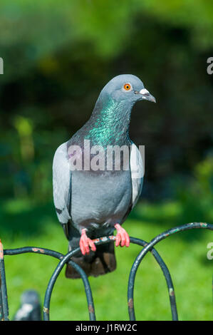 Feral pigeon [Columba livia donestica], also called city doves, city pigeons, or street pigeons, are pigeons that - Stock Photo