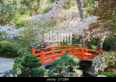 Japanese Garden Cherry Blossom Bridge beautiful cherry tree blossom at descanso garden of los angeles