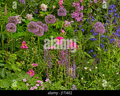 Detail of a colourful flower border with Alliums and Salvia - Stock Photo