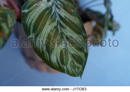 Close-up Maranta leuconeura leaf - Stock Photo