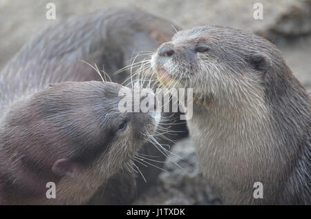 Really adorable pair of river otters cuddling and showing affection. - Stock Photo