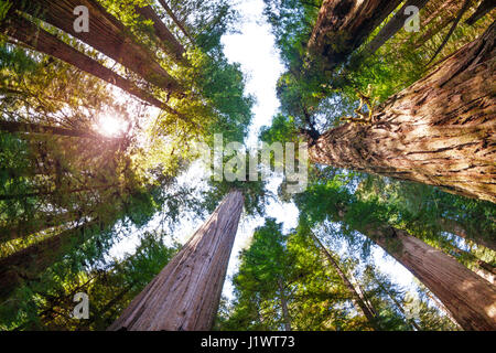 Sunbeams penetrating to the depths of the Redwood National Park through the branches of huge sequoias, bottom view - Stock Photo