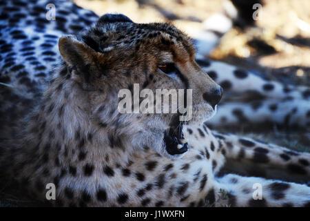 A beautiful cheetah in South Africa.