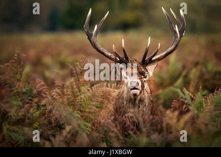 Portrait of dominant red deer stag - Stock Photo