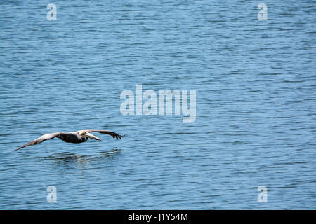 A Brown Pelican (Pelicanus Occidentalis) flying over Tampa Bay at Philippe Park in Safety Harbor, Florida. - Stock Photo