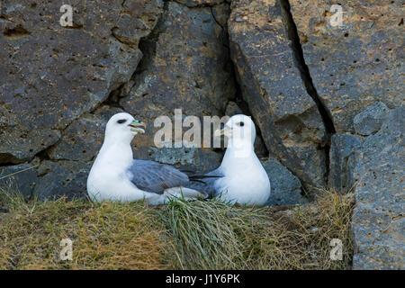Northern fulmar / Arctic fulmars (Fulmarus glacialis) pair on ledge in rock face of sea cliff - Stock Photo
