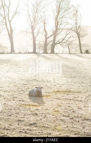 Frosty morning in bright sunshine - sheep and marks of where frost has melted where sheep have been laying - Campsie - Stock Photo