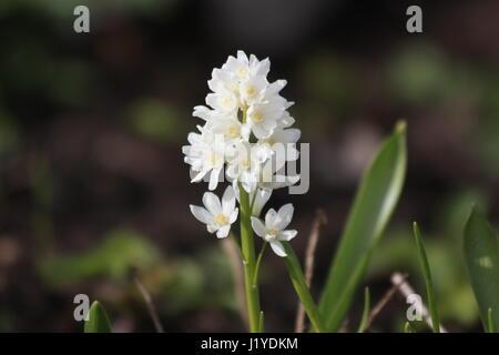 Puschkinia scilloides var. libanotica Alba - Stock Photo