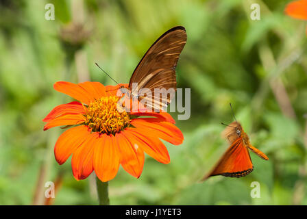 Julia butterfly (Dryas iulia) feeding on nectar from an orange coloured flower while another Julia flies towards - Stock Photo