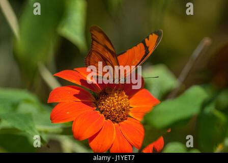 Julia butterfly (Dryas iulia) feeding on nectar from an orange coloured flower - Stock Photo
