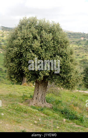 Olive tree (Olea europaea) in a field near Paphos, Cyprus - Stock Photo