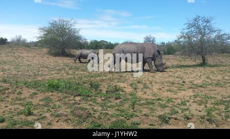 rhinos grasing on a country side in south africa - Stock Photo