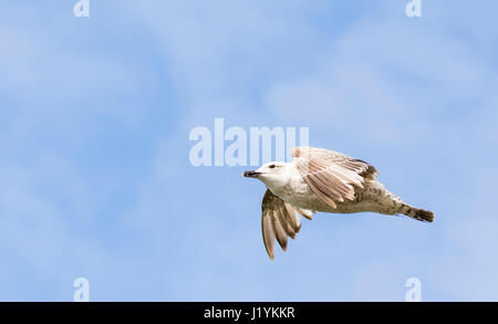 Seagull flying against blue sky in the UK. - Stock Photo