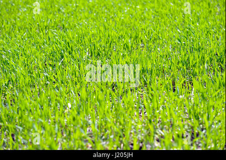 Fresh wheat germ on the field with in a sunny spring day - Stock Photo