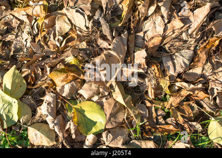 Abstract nature background with autumn yellow leaves of apricots on the green grass. - Stock Photo