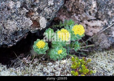 Burnirót (Rhodiola rosea) growing in Neshraun lava fields, Western Iceland. - Stock Photo
