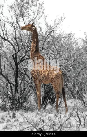 Partial Black and White Vector of Grown Giraffe eating top leaves from large tree. - Stock Photo