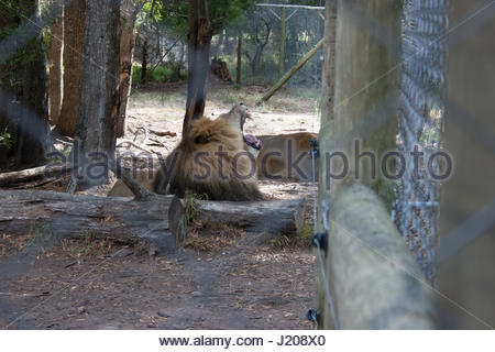 Yawning lion behind a fence in sanctuary in South Africa - Stock Photo
