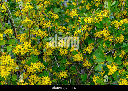 Blooming  black currant is photographed closeup - Stock Photo