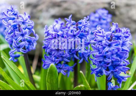 Macro closeup of many blue hyacinth flowers - Stock Photo