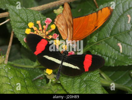 Mexican / South American Red or Small Postman Butterfly (Heliconius erato) together with a Orange Julia Longwing - Stock Photo