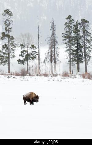 American bison / Amerikanische Bison ( Bison bison ) in winter, single animal on far distance, walking through snow, - Stock Photo