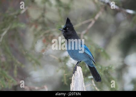 Steller's jay / Diademhaeher ( Cyanocitta stelleri ) in winter, perched exposed on top of a dead trunk, erected - Stock Photo