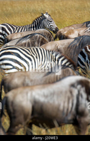 Mixture of herds of Buchell's Zebras, Equus quagga, and Wildebeest, Connochaetes gnou, during the Great Migration, - Stock Photo