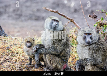 Family of wild Olive Baboons, Papio anubis, with a small baby, Ol Pejeta Conservancy, Kenya, East Africa - Stock Photo