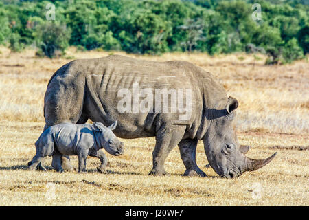 Adult White Rhinoceros, Ceratotherium simum, with small calf, Ol Pejeta Conservancy, Kenya, East Africa - Stock Photo