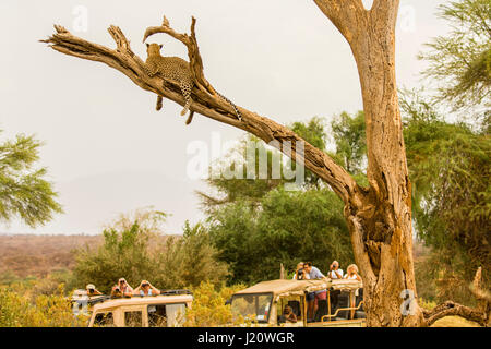 Tourists in safari vehicles watching an African Leopard, Panthera pardus, up in a tree in the Buffalo Springs Game - Stock Photo