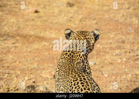 Rear view from above of a solitary wild African Leopard, Panthera pardus, at the Buffalo Springs Game Reserve, Kenya, - Stock Photo