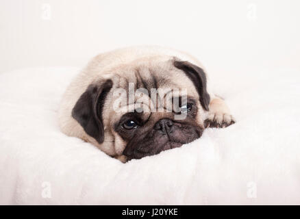 sad little pug puppy dog, lying down crying on fuzzy blanket - Stock Photo